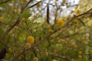 Acacia tortilis
