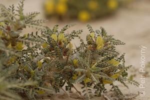 Astragalus_trigonus2