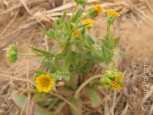Calendula_arvensis