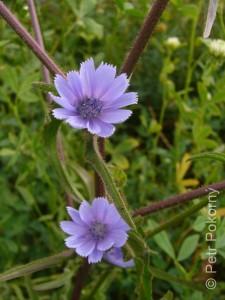 Cichorium_endivia2