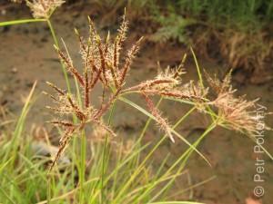 Cyperus_rotundus2