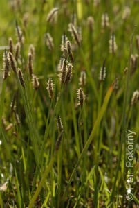 Eleocharis_palustris