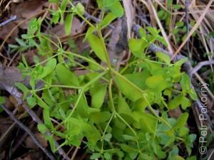 Euphorbia_peplus