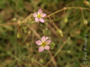 Gypsophila_capillaris
