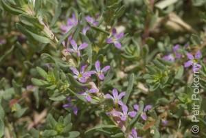 Lythrum_hyssopifolia