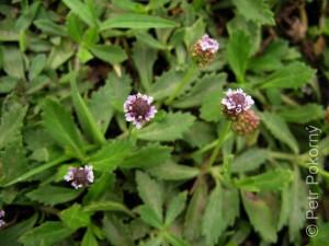 Phyla_nodiflora