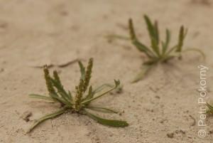Plantago_crypsoides