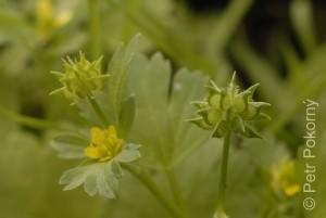 Ranunculus_marginatus2