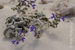 Salvia_lanigera
