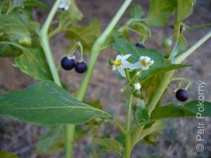 Solanum_nigrum