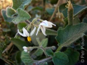 Solanum_villosum1