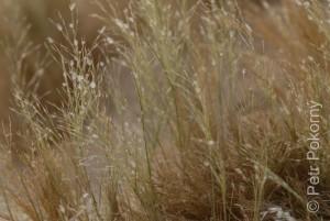 Stipagrostis_hirtigluma2