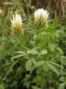 Trifolium_alexandrnium